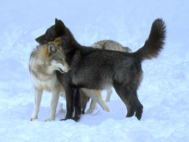 Rowan s Wolf